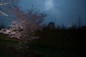 http://www.peterwaterschoot.com/files/gimgs/th-14_11,  Japanese Garden, Blossom & Fence.jpg